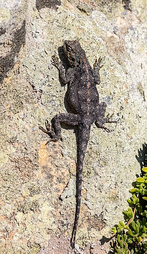 Exemplar of Southern Rock Agama (Agama atra), Cape of Good Hope, South Africa.