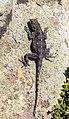 Lagarto (Agama atra), cabo de Buena Esparanza, Sudáfrica, 2018-07-23, DD 81.jpg