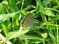 Lampides boeticus - Pea Blue at Aralam Wildlife sanctuary during Aralam butterfly survey 2020 (15).jpg