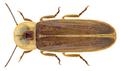 Lampyris noctiluca (Linné, 1758) Male (24900864522).png