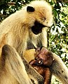 Langur feeding its kid, Bhanjonagar, Odisha.jpg
