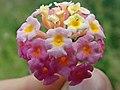 Lantana camara flowerhead NC8.jpg