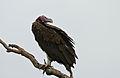 Lappet-faced Vulture (Torgos tracheliotus) (16672476435).jpg