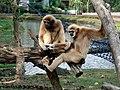 Lar-gibbon-2007095 1280.jpg