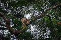Lar gibbon, White-handed gibbon - Kaeng Krachan National Park (36522843795).jpg