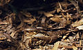 Large-tailed Nightjar (Caprimulgus macrurus) (20785168446).jpg