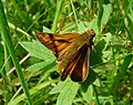 Large Skipper (7692532574).jpg
