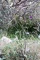 Lathyrus angulatus-Gesse anguleuse-20160417.jpg