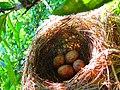 Le nid d'oiseau sur l'arbre.jpg