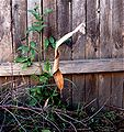 Leaf curling spider in retreat with web 1.jpg