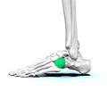 Left cuboid bone 02.png