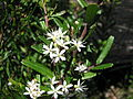 Leionema bilobum subsp. serrulatum.JPG