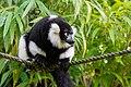 Lemur (36499949413).jpg