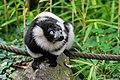 Lemur (36693207300).jpg