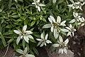 Leontopodium japonicum 11.jpg