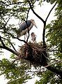 Lesser Adjutant Leptoptilos javanicus nest by Dr. Raju Kasambe DSCN1471 (13).jpg