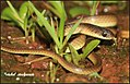 Lesser Striped Necked Snake ( Calamaria Reed Snake ).jpg