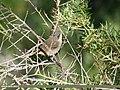 Lesser Whitethroat (Sylvia curruca) (26436939929).jpg