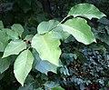 Liście magnolii drzewiastej w Rudach.jpg