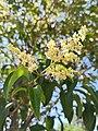 Ligustrum lucidum (Family Oleaceae) - Flowers.jpg