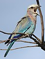 Lilac-breasted Roller, Coracias caudatus, at Elephant Sands Lodge, Botswana (31437439693).jpg