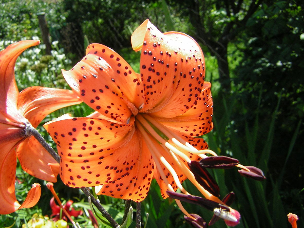 Tiger Lily Wiktionary