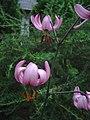 Lilium martgagon (1).jpg
