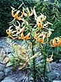 Lilium rosthornii (1).jpg