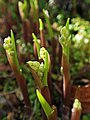 Lily of the Valley (49720043362).jpg