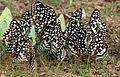 Lime Butterfly (Papilio demoleus) mud-puddling W IMG 0253.jpg