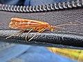Limnephilus lunatus (Limnephilidae sp.), Elst (Gld), the Netherlands - 3.jpg