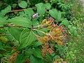 Linnaea amabilis 2016-07-19 2622.jpg