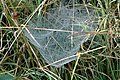 Linyphia.hortensis.web.jpg