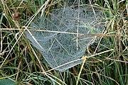 Typická pavučina pavouků z čeledi plachetnatkovitých