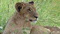 Lion (Panthera leo) (6025830562).jpg
