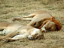 Lion and lioness sleeping.JPG