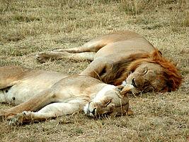 Сон Википедия Спящие львы Серенгети