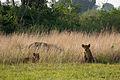 Lion cubs - Queen Elizabeth National Park, Uganda (2).jpg