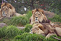 Lions - melbourne zoo.jpg