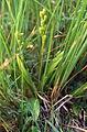 Liparis loeselii (abgeblueht) Slowenien.jpg