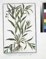 Lithospermum majus, flagellis oblongis hispidis partim erectis, partim procumbentibus, floribus majoribus, cæruleis, en eadem palnta - Millium Solis - Gremil, ou Herbe aux perles. (Puccoon) (NYPL b14444147-1125058).tiff
