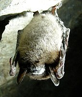 A little brown bat hangs from a cave ceiling. The bat has white fungus growing on its nose