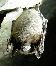 A small outcropping of rock from a wall in a cave is at the top, from which a bat hangs upside down, clutching the rocks edge with its claws. The bat's wings are folded and pressed close to its side, and its body is covered in white fur except at its head and shoulders, where the fur is brown, and its long, brown, leathery ears jut down. Its nose and mouth are surrounded and covered by a white, powder-like substance, as are parts of its wings and ears.