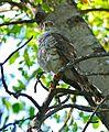 Little Sparrowhawk (Accipiter minullus) immature (31215969532).jpg