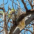 Little corella at Boulia Wildlife Haven Herbert St Boulia Queensland P1030434.jpg