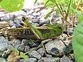 Locusta migratoria beside river - 1.jpg