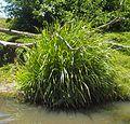 Lomandra longifolia habit.jpg
