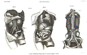 "London Encyclopaedia (1829) - London Encyclopaedia (1829) Vol.2 ""Anatomy"" Plate VI"