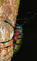 Longhorn Beetle (Diastocera wallichi) (8736290580).jpg
