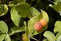 Lonicera albiflora - Flickr - aspidoscelis.jpg